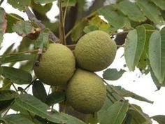 The fruit, leaves and bark of the Black Walnut tree offer many benefits. Taken internally, Black Walnut helps relieve constipation, and is. Home Remedies For Thyroid, Herbal Remedies, Natural Remedies, Health Remedies, Black Walnut Tree, Natural Insecticide, Detox, The Husk, A 17