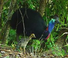 Cassowary and chick. The cassowaries are ratites in the genus Casuarius native to the tropical forests of New Guinea, nearby islands, and northeastern Australia. An adult cassowary can stand up to 1.8 metres (6') tall.
