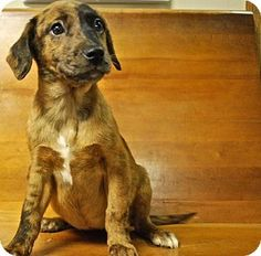 12 / 2     Catahoula Leopard Dog Mix Puppy for adoption in Randleman, North Carolina - Shelter: Randolph County Animal Shelter Pet ID #: 7968289 Phone: (336) 683-8235 E-mail: rcaspets@gmail.com Website: http://www.rcaspets.org Address: 1370 County Land Road Randleman, NC 27317