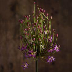 ALLIUM PURPLE - FLOWERS - WYLD HOME - 1