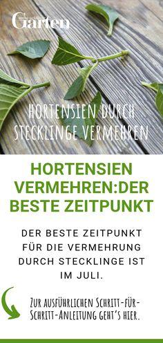 Hortensien - Im Ziergarten kann man im Juli Hortensien durch Stecklinge vermehren und sich dadurch erneut an der - Garden Care, Hydrangea Garden, Parts Of A Plant, Décor Boho, Plantation, Propagation, Cuttings, Cool Plants, Gardening