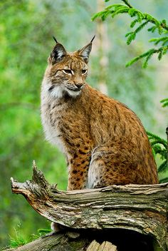 Lynx or Bobcat found throughout the southwestern United States.