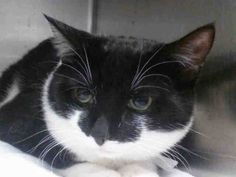 NYC **SWEETEST BOY KITTEN** TO BE DESTROYED 03/11/15 SHADOW  does not come to front but looks at you, calm, relaxed & friendly. Appreciates attention, is easy to handle & tolerates all petting.ID #A1028419. Male black & white about 9 MONTHS old.STRAY. I came in with Group/Litter #K15-004602. https://www.facebook.com/nycurgentcats/photos/a.968811339803520.1073742620.220724831278845/968811413136846/?type=3&theater