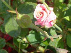 Una rosa de mi jardin