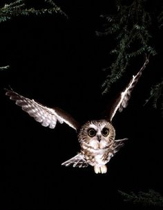 Ночная сова в полете