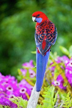 Crimson Rosella & Orchids - ©Darrell Gulin / Getty Images (via FineArtAmerica)