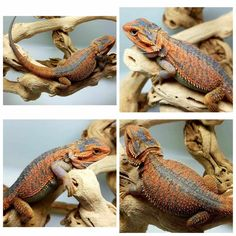A guide to mutations and genetic traits of bearded dragons. Fancy Bearded Dragon, Bearded Dragon Colors, Bearded Dragon Diet, Bearded Dragon Breeding, Dragons, Genetics Traits, Pet Dragon, Baby Dragon, Reptiles And Amphibians