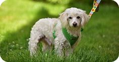 Marina Del Ray, CA - Lhasa Apso/Poodle (Miniature) Mix. Meet REMY, a dog for adoption. http://www.adoptapet.com/pet/15889124-marina-del-ray-california-lhasa-apso-mix
