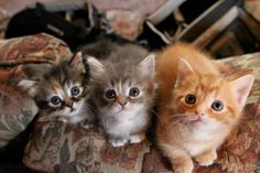 munchkin kittens melville, monroe, and oliver. I Love Cats, Cool Cats, Kittens Cutest, Cats And Kittens, Baby Animals, Cute Animals, Tonkinese Cat, Munchkin Kitten, Cat Whisperer