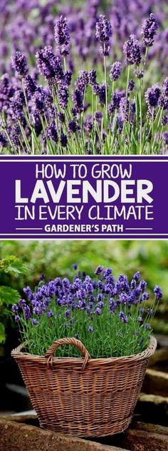 If you?re looking for a beautiful addition to your garden that requires very little maintenance while offering a bountiful harvest year after year, then lavender is the plant for you! Learn what variety fits with your region and the best tips to grow it o Garden Landscaping, Plants, Herbs, Planting Flowers, Lavender, Organic Gardening, Growing Plants, Hydroponic Gardening, Growing Lavender