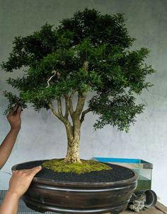 Bonsai Art, Bonsai Garden, Boxwood Bonsai, Forest Park, Planted Aquarium, Small Trees, Asian Art, Aquariums, Landscape