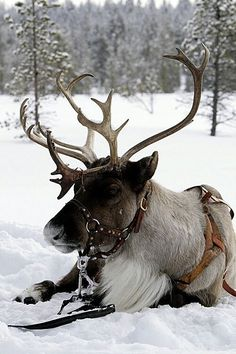 resting reindeer. Gathering strength for the Xmas deliveries on 24th December