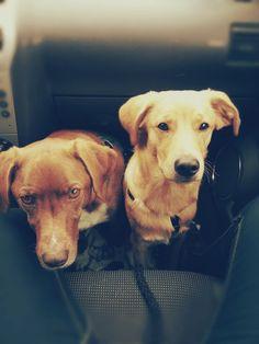 Mischlinge freddy und Lucky  Die zwei hart Arbeitenden im Auto auf dem Weg zur nächsten Gassirunde.       Mehr lesen: http://d2l.in/5l  dogs2love - Gassi gehen zum Verlieben. Partnerbörse für alle, die Hunde lieben.  Bild, Dating, Foto, Hund, Partner, Rasse, Single