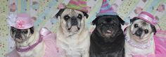 Pugs and Kisses » We are four adorable pugs here to spread joy and laughter. We'll warm your heart and bring a smile to your face.