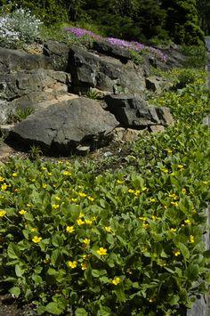 Chrysogonum Virginianum Mt Cuba Center Plants Under Trees Drought