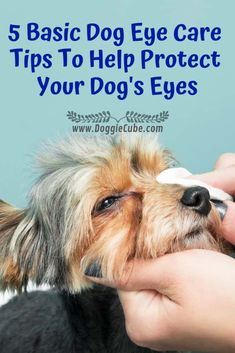 Eye Care - 5 Basic Dog Eye Care Tips To Help Protect Your Dog's Eyes - Doggie Cube - You don't need any special products to take care of your dog's eyes. Many of these are home remedies. Here are 5 basic dog eye care tips to help prote. Dog Care Tips, Pet Care, Pet Tips, Puppy Care, Dry Eyes Causes, Eye Infections, Yorky, Dog Eyes, Animals