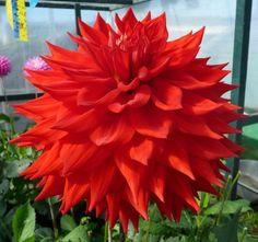 "Dahlia 'Kenora Valentine' (6-8"" bloom; 3-4' bush): orange-red petals; decorative."