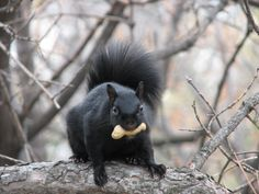 Adorable Black Squirrel Eating a Peanut.  (Seriously lady, do I look adorable? 'Cause I will be all over you in 1 sec).  VTP