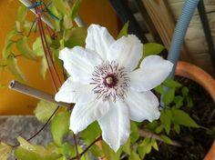 22 mai ... les clématites de l'an dernier se font belles