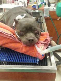 Capone's emergency eye removal surgery | Medical Expenses - YouCaring - 16 Donation Days Left as of 03/19/15 - Capone Is Doing Well!
