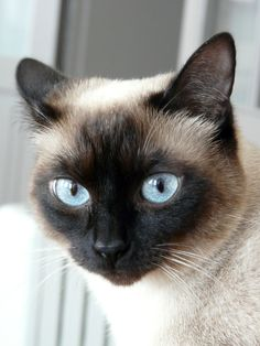 Siamese cat. Scarlett, one of my 3 cats... #bluesiamese #sealpoint #siamese
