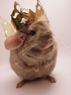 KING CHINCHILLA