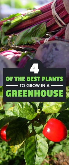 Some of the best plants to grow in a greenhouse may not be what you expect. Check these 4 veggies out and you'll be on your way to a productive harvest.