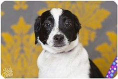 Fort Wayne, IN - Border Collie Mix. Meet Forbes, a puppy for adoption. http://www.adoptapet.com/pet/17371180-fort-wayne-indiana-border-collie-mix