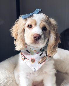 """Awesome """"cocker spaniel dog"""" detail is available on our web pages. Check it out and you wont be sorry you did. Cute Baby Animals, Animals And Pets, Funny Animals, English Cocker Spaniel Puppies, English Spaniel, Cute Dogs And Puppies, Puppies Puppies, Doggies, Doggie Beds"""