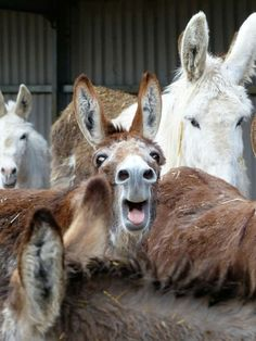 Happy Animals, Cute Funny Animals, Funny Animal Pictures, Farm Animals, Animals And Pets, Cute Donkey, Mini Donkey, Donkey Rescue, Zebras