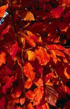 Bild Herbstfärbung der Blätter - Garten & Pflanzen News - Feurige Herbstschönheit: Die Blätter des Eisenholzbaumes (Parrotia persica) bieten ein wunderschönes Farbenspiel, wenn die Gartensaison zu Ende geht. - 1613.jpg - von Frank