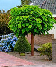 Trompetenbaum - Bäume