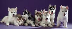 Скидка 10% первому покупателю щенка хаски только в эту пятницу!