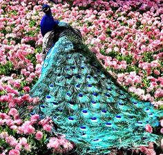 "The term ""peacock"" is commonly used to refer to birds of both sexes. Technically, only males are peacocks. Females are peahens, and together, they are called peafowl. Pretty Birds, Love Birds, Beautiful Birds, Beautiful World, Animals Beautiful, Cute Animals, Simply Beautiful, Exotic Birds, Colorful Birds"