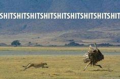 #cheetah vs #ostrich