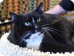 Westampton, NJ - Domestic Shorthair. Meet C-63365 Winnie (Petvalu), a cat for adoption. http://www.adoptapet.com/pet/12611050-westampton-new-jersey-cat