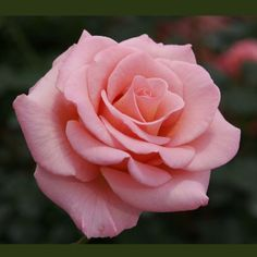 Flawless Salmon Pink Miniflora Hybrid Tea Rose, Jackson Perkins