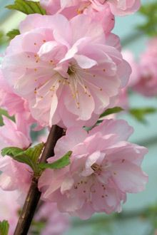 Pink Flowering Almond Bush*Petite, ruffled double pink blooms cover branchs in April or May.Small green leaves cover shrub in summer turn yellow in fall. tolerates  poor soil & drought .   4-5 ft tall , partial or full sun.
