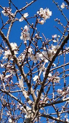 Mandelblüte auf Can Paulino