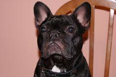 Nerón Atento, French Bulldog