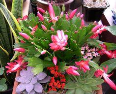 Christmas Cactus! http://www.cactuscenter.com/christmas3.jpg