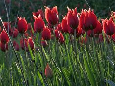 "Natural red and green color. ""Lalades"" wild tulips from Chios island, Greece."