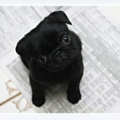 baby pugs tumblr - Google Search