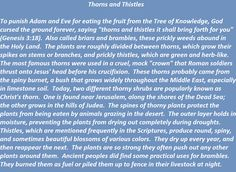 Thorns and Thistles in biblical times