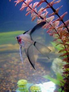 dusky blushing angelfish....got a little one!