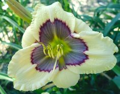 Small Daylily, Hemerocallis 'Small World Blueberry Ice Cream' (Miller, 2014)