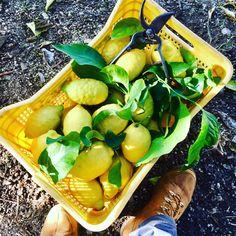 #Harvesting my #lemons☀️ #organicfarm #amalficoast #amalfilemon #lemonmind #agricolturabiologica #farmers