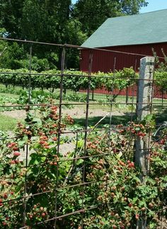 Grape arbor and barn