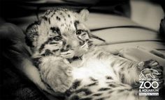 The clouded leopard cubs at Point Defiance Zoo are now 1 month old!! Photos: http://bit.ly/HmSuJM