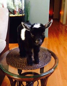 Funny pictures about Tiny baby goat. Oh, and cool pics about Tiny baby goat. Also, Tiny baby goat. Mini Goats, Cute Goats, Baby Goats, Cute Baby Animals, Animals And Pets, Funny Animals, Farm Animals, Pigmy Goats, Cute Creatures